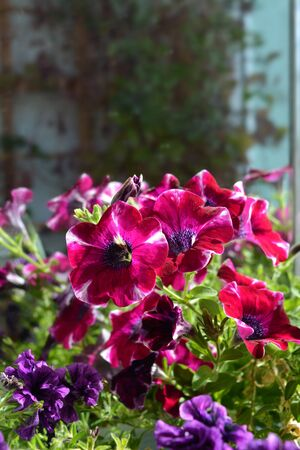 Beautiful bright flowers of petunia growing on the balcony. Фото со стока