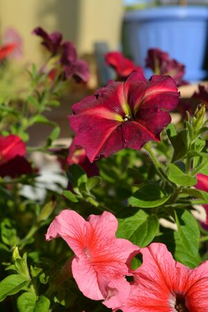 Blooming garden on the balcony with beautiful petunias.