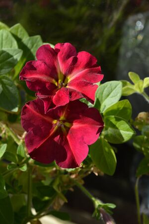 Two beautiful petunia flowers among green leaves on a sunny day. Garden on the balcony.