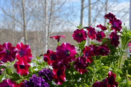 Bright flowers of petunia on the background of trees outside the window. Garden on the balcony in early spring. Фото со стока