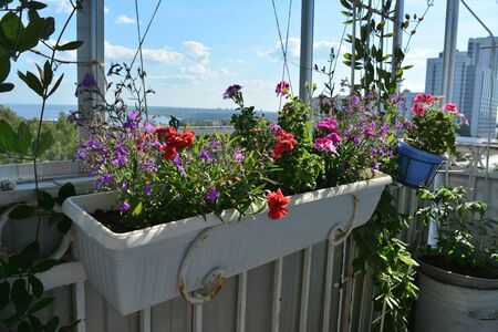 Blooming garden on small urban balcony. Beautiful flowers of lobelia, carnation, geranium grow in pots and containers. Фото со стока