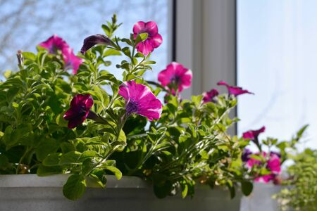Pretty petunia flowers grow in container. Sunny spring day. Balcony greening.