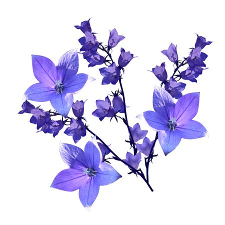 Beautiful bouquet of violet bellflowers isolated on white background.