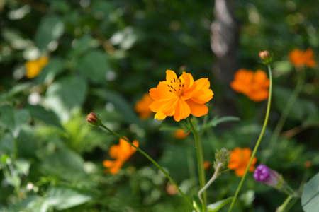 Beautiful orange cosmos flower in summer garden. Cosmos sulphureus 版權商用圖片