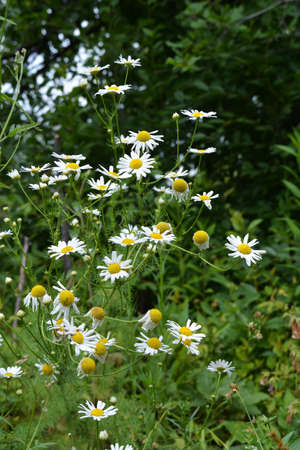 Summer scene with flowers of chamomile in the garden. 版權商用圖片