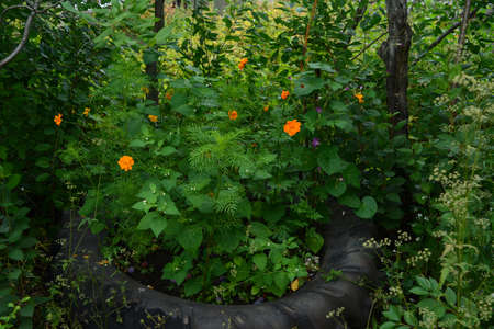 Beautiful country garden. Flower bed with orange cosmos flowers in surrounding of lush green foliage. 版權商用圖片