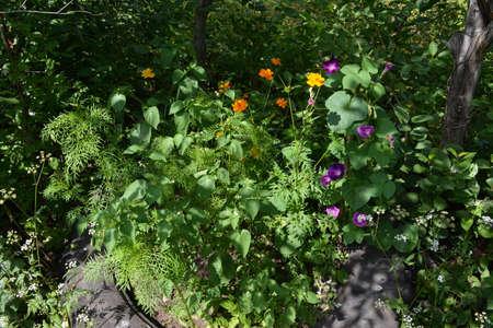 Beautiful flowerbed with cosmos and ipomoea flowers in rustic garden.