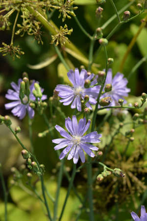 Beautiful flowers of blue lettuce in sunny day. Lactuca tatarica.