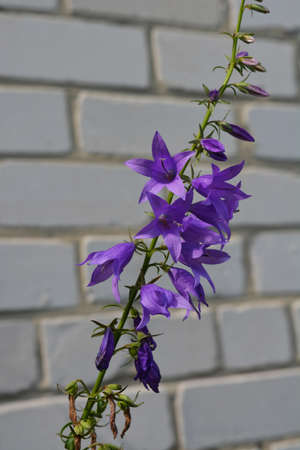 Violet bellflower on the background of white brick wall.