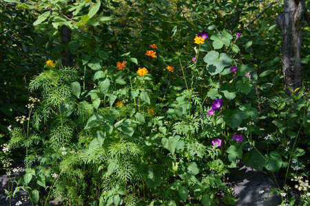 Flowering plants in the garden. Orange cosmos and purple ipomoea flowers. 版權商用圖片 - 153878731