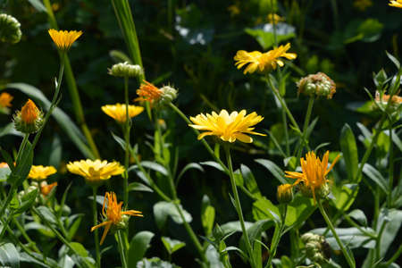 Orange flowers of calendula in the garden. Medicinal plant. 版權商用圖片 - 153878851