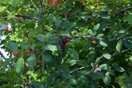 Orchard in summer. Plum tree with fruits and viburnum bush with berries. 版權商用圖片 - 153878823