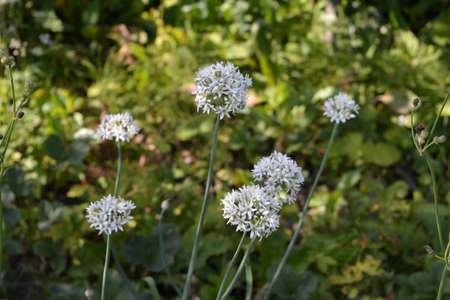 White onion flowers in summer garden 版權商用圖片 - 153879446