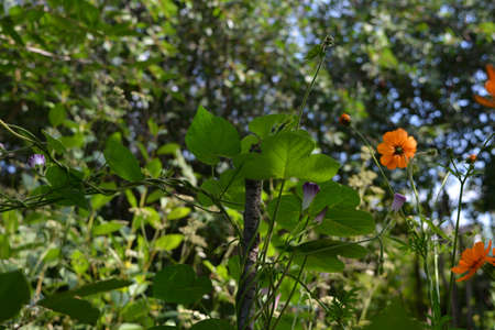 Beautiful garden in summer. Ipomoea leaves and buds and cosmos flowers on blurred background with trees. 版權商用圖片