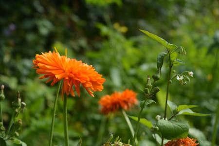 Bright orange flowers of calendula officinalis. 版權商用圖片 - 154271596