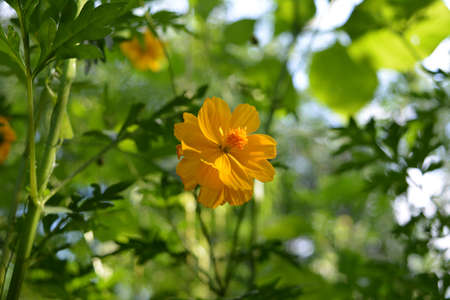 Beautiful yellow cosmos flower in fairytale garden. Cosmos sulphureus 版權商用圖片 - 153949213