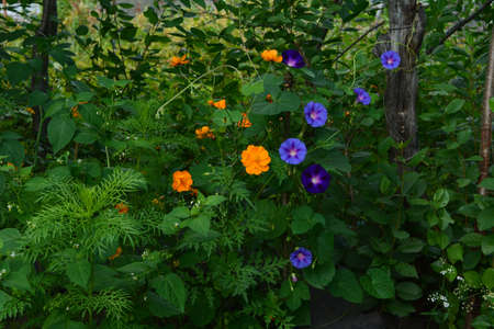 Beautiful flowerbed in country garden with orange cosmos flowers and violet ipomoea flowers.
