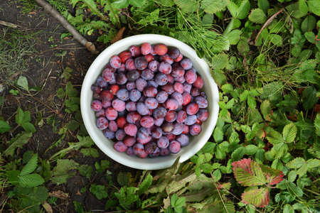 Tasty plums in bowl. Harvest in the garden in august.