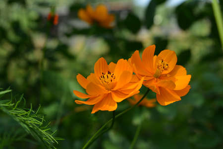 Two beautiful cosmos flowers with orange petals 版權商用圖片 - 155340916