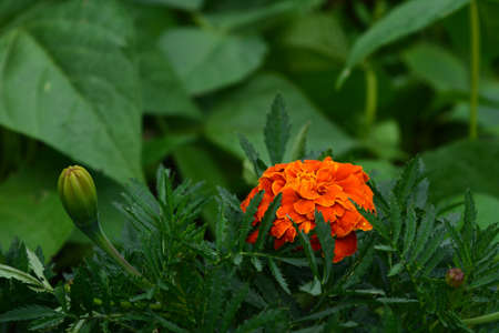 Bright flower of Tagetes patula or French marigold 版權商用圖片 - 155341249