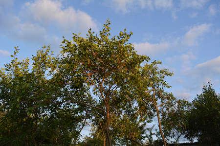 Plum trees in evening garden. Summer scene in fruit orchard