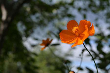 Bright orange cosmos flower on blurred background. 版權商用圖片