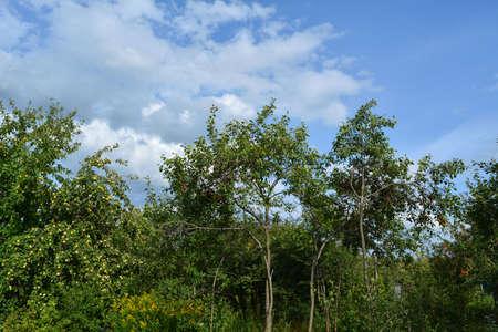 Garden landscape with apple and plum trees in midsummer 版權商用圖片 - 154927764