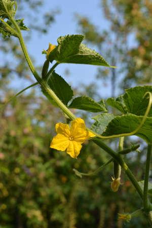 Cucumber plant with yellow flower in vegetable garden. 版權商用圖片 - 154927767