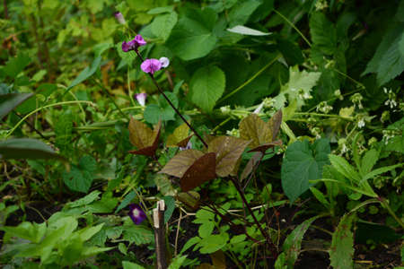Young plant with flowers of dolichos lablab (hyacinth bean) in the garden 版權商用圖片 - 154927488