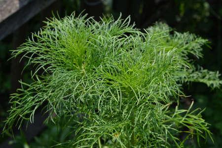 Openwork green leaves of cosmos flower.