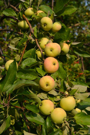 Apple tree of the White Fill variety grows in the garden in the Middle Volga region. Rich harvest of fruits 版權商用圖片