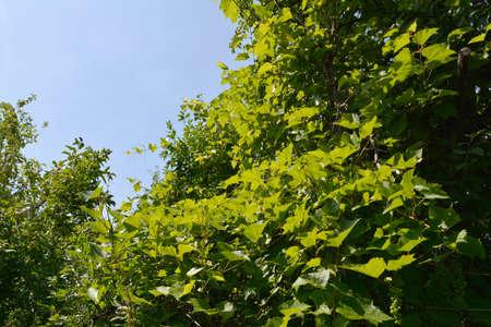 Grape vine with green leaves in the garden. 版權商用圖片 - 154759472