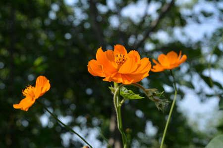 Orange cosmos flowers on blurred background of trees 版權商用圖片 - 154759608