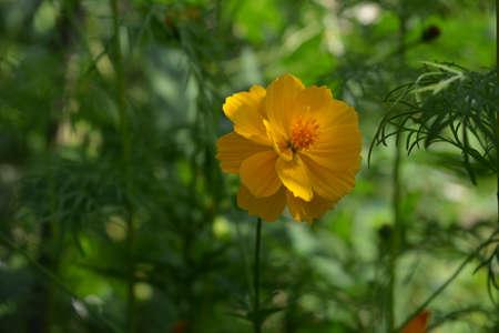 Beautiful yellow flower of Cosmos sulphureus on blurred green background 版權商用圖片 - 154759789