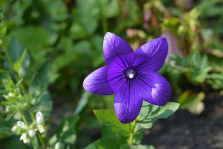 Beautiful purple flower of Platycodon grandiflorus. Flowering perennial plant in the garden.
