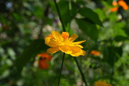 Bright yellow cosmos flower on blurred background. Summer garden