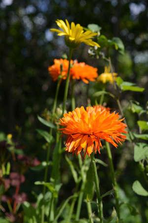 Bright orange calendula flowers in sunny day 版權商用圖片 - 155024012