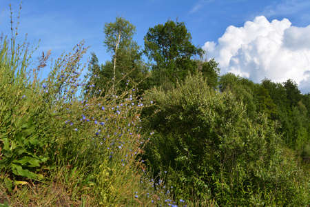 Summer landscape with trees and herbs in sunny day. Flowering blue chicory on the foreground and large cumulus clouds on the background