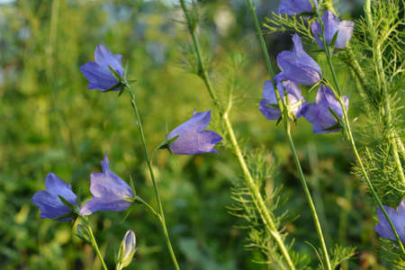 Beautiful flowers of the peach-leaved bellflower on green background. Blooming campanula persicifolia.