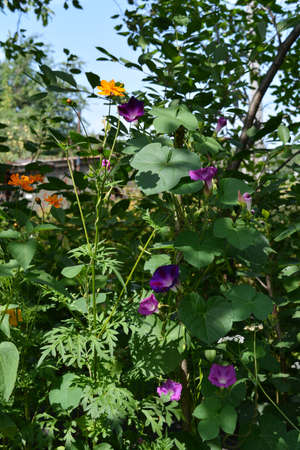 Ipomoea and cosmos flowers in summer garden. Orange and purple flowers in sunny day.