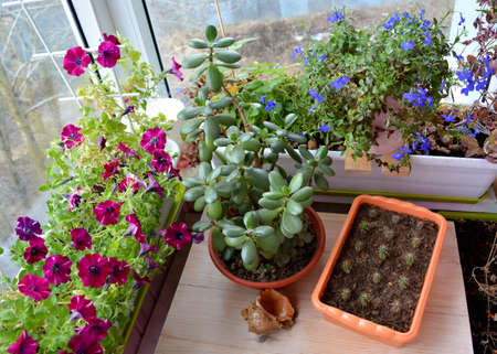 Perfect garden on the balcony with succulents and flowers. Blooming petunia and lobelia, crassula and small cactuses grow in containers and pots. Top view. 版權商用圖片
