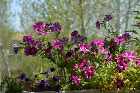 Petunia flowers grow in the container on the balcony. Beautiful blooming in spring 版權商用圖片