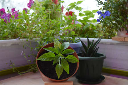 Beautiful garden on the balcony with flowers, herbs and succulents. Lobelia, aloe and hot pepper grow in pots.