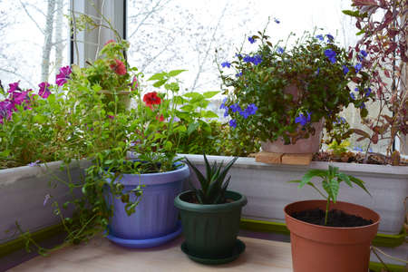 Beautiful garden on the balcony with potted plants. Petunia and lobelia flowers, aloe and hot pepper grow in different containers and pots.
