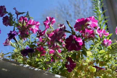 Beautiful pink petunia flowers with white stripes. Balcony gardening.