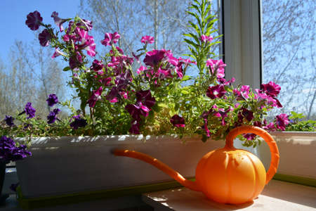 Balcony gardening. Orange watering can on the background of beautiful blooming petunias in container