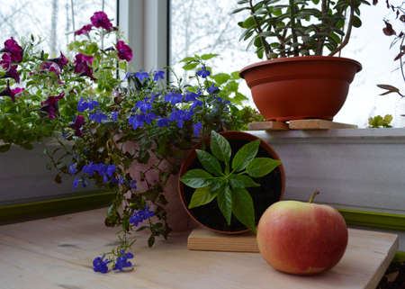 Beautiful garden on the balcony. Still life with potted plants and apple. Lobelia and petunia flowers, hot pepper, crassula grow in different pots.