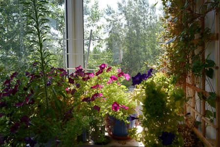 Small urban garden on the balcony with pink and violet petunia flowers in pots, and cobaea on trellis on the wall. 版權商用圖片