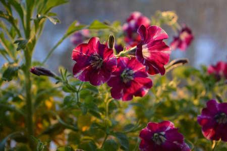 Beautiful petunia flowers in the dawn light 版權商用圖片