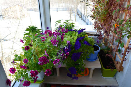 Small urban garden in the balcony with blooming petunias in winter. Beautiful flowers grow in pots and containers.